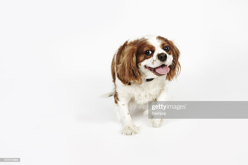 Portrait of a Cavalier King Charles Spaniel : Stock Photo