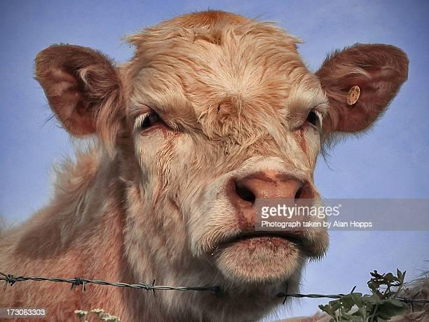 Portrait of a charolais steer