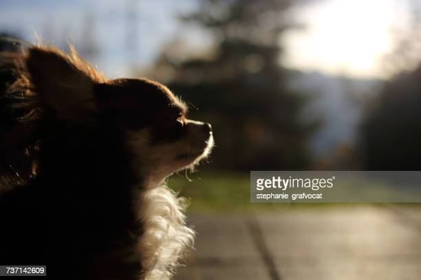 Portrait of a Chihuahua dog in sunlight