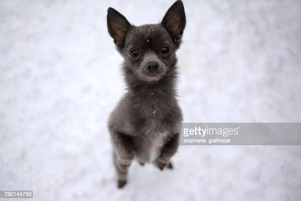 Portrait of a Chihuahua dog standing in snow begging