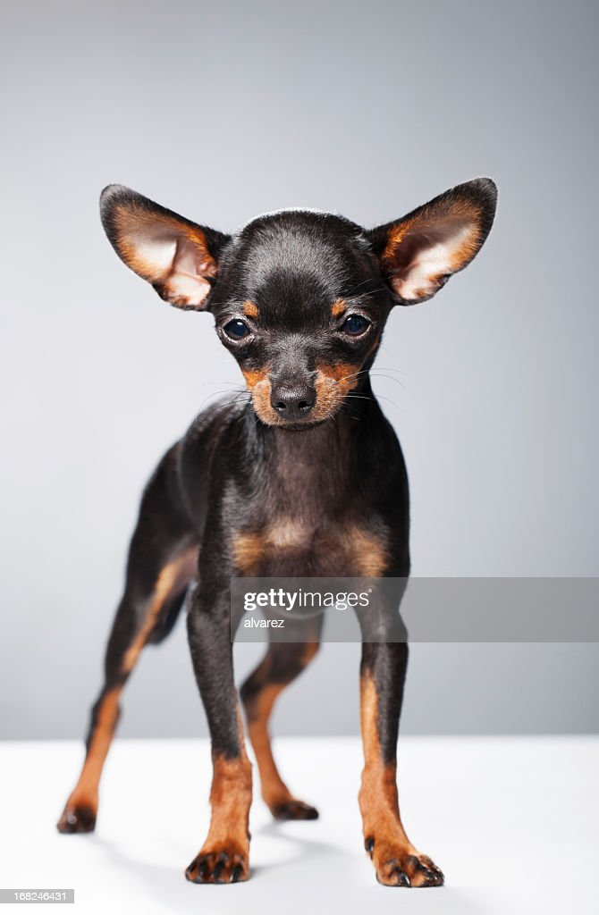 Portrait of a Chihuahua : Stock Photo