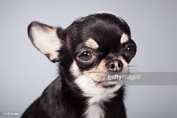 Ritratto di un Chihuahua
