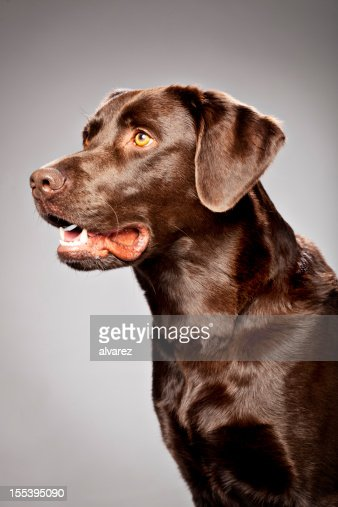 Portrait of a Chocolate Labrador : Stock Photo
