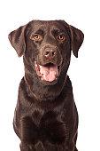 Portrait of a Chocolate Labrador