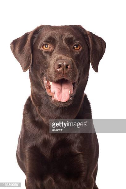 Portrait de Labrador chocolat