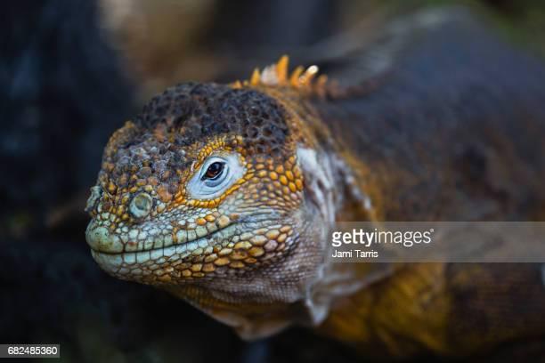 A portrait of a colorful Land Iguana