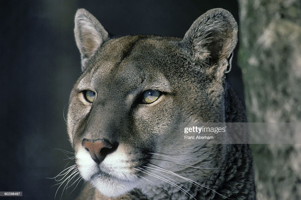 Portrait of a cougar : Stock Photo