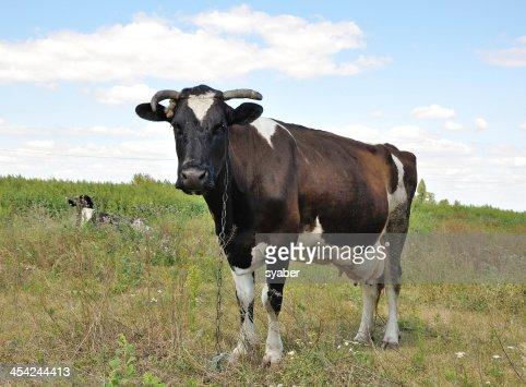 portrait of a cow : Stock Photo