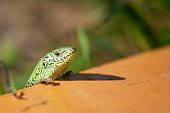 A bright green lizard looks into the camera. Wildlife concept