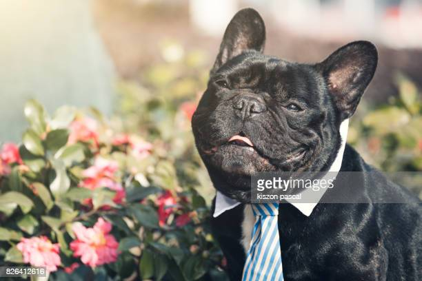 portrait of a cute black french bulldog in day