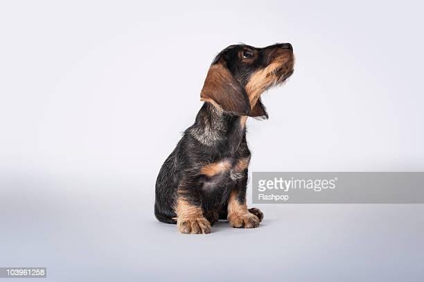Portrait of a Dachshund puppy