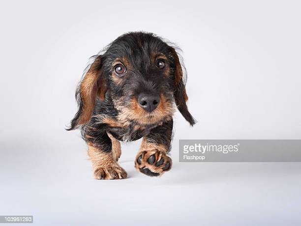 Portrait of a Dachshund puppy