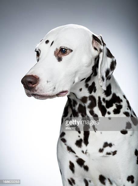 Portrait d'un Dalmatien