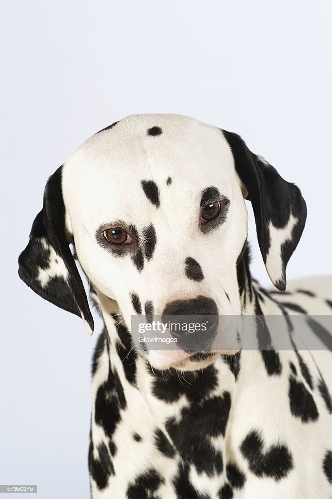 Portrait of a Dalmatian : Stock Photo