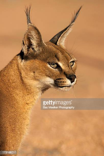 Portrait of a desert lynx