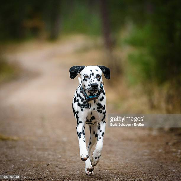 Portrait Of A Dog Running On Narrow Road