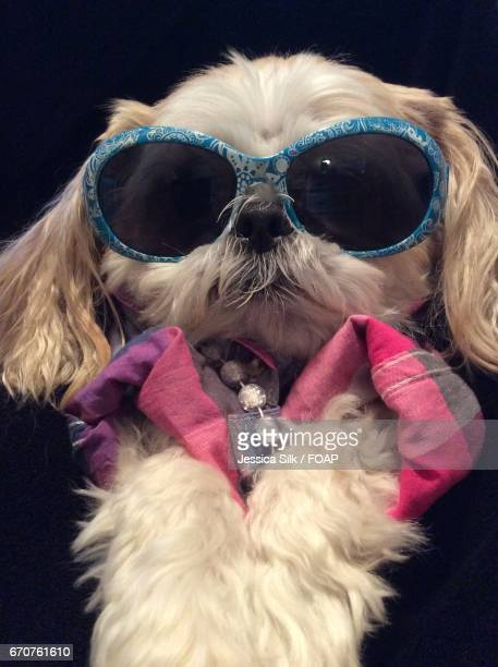 Portrait of a dog with sunglasses against black background