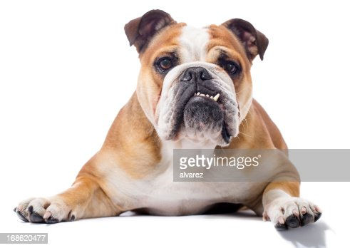 Portrait of a English Bulldog