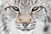 Portrait of a Eurasian Lynx -Lynx lynx-, Hesse, Germany