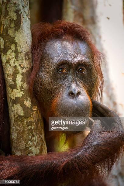 Portrait of a female Orang Utan, wildlife shot