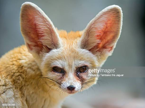 Portrait of a fennec