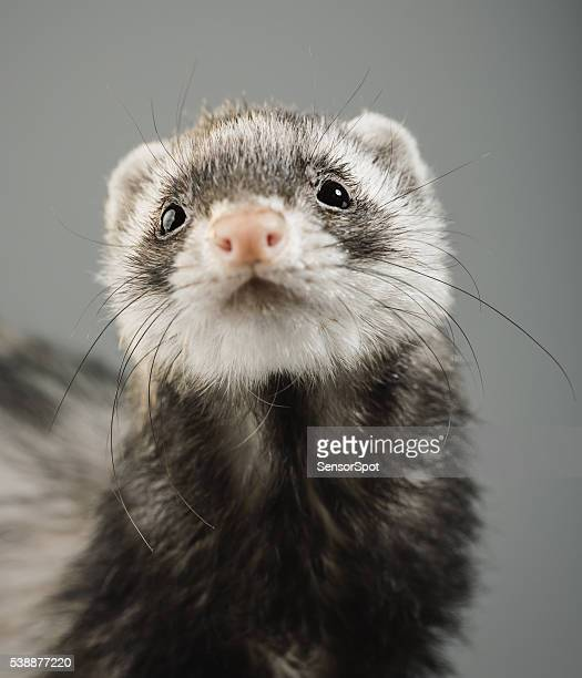 Portrait of a ferret looking to the camera