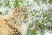 Portrait of a fluffy long-haired cat on a background of cherry blossoms