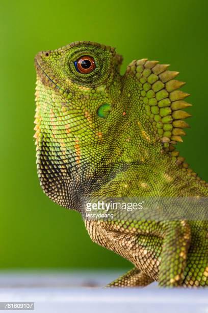 Portrait of a Forest dragon lizard, Jakarta, Indonesia