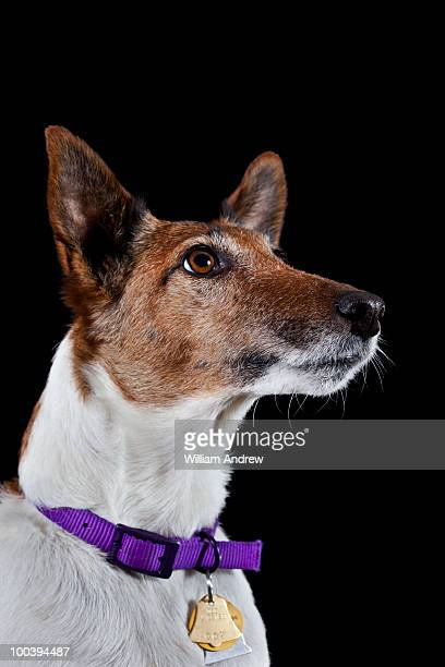 Portrait of a fox terrier