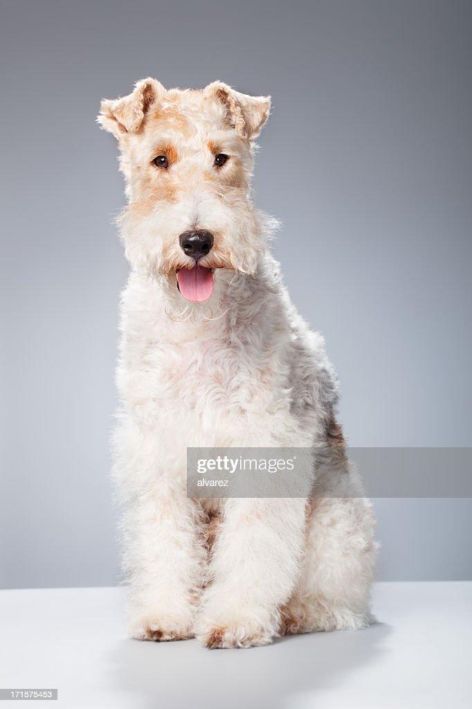 Portrait of a Fox Terrier : Stock Photo