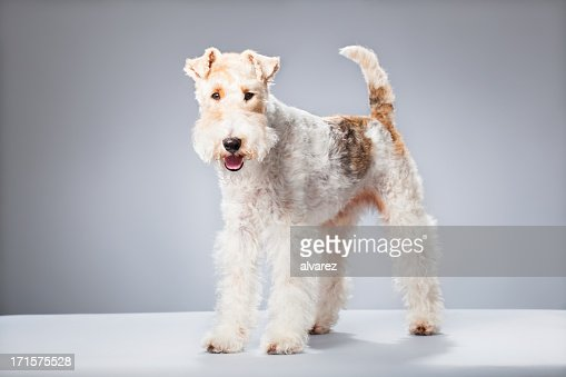 Portrait of a Fox Terrier : Stock Photo