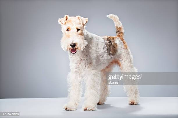Portrait de Fox-Terrier