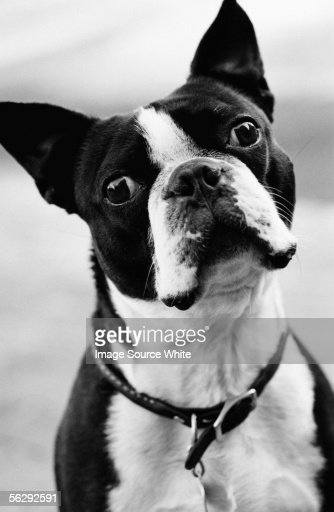 Portrait of a French bulldog : Stock Photo