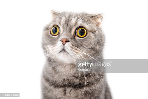 Portrait of a frightened cat closeup. Breed Scottish Fold. : Foto de stock