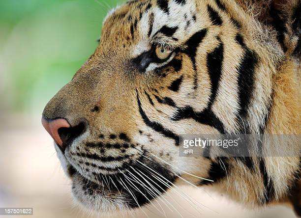 Portrait of a full grown Bengal Tiger in Wildlife (XXXL)