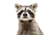 Portrait of a funny raccoon closeup, Isolated on white background