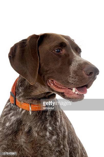 Portrait of a German Short-Haired Pointer