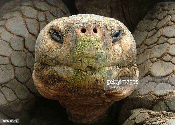 Portrait of a Giant Tortoise