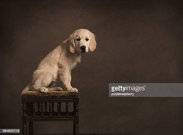Portrait of a golden retriever dog, sitting on a stool