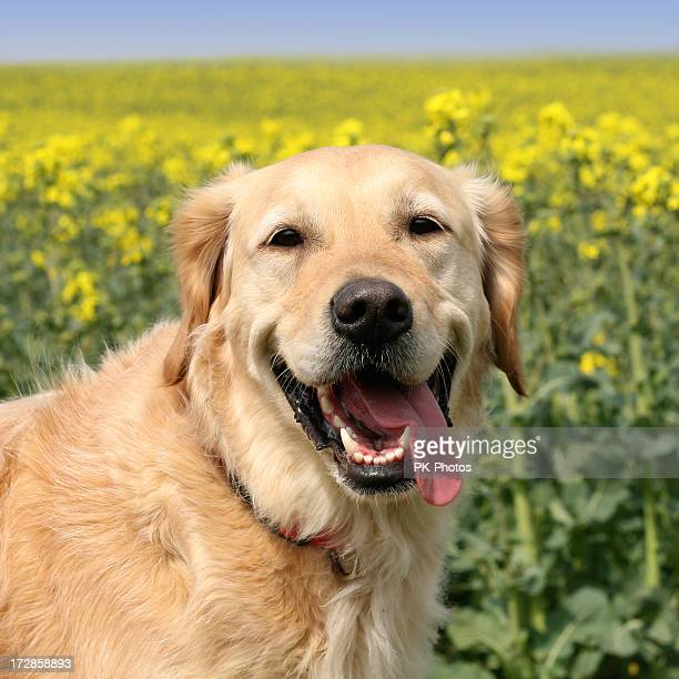 Portrait of a golden retriever smiling in a field