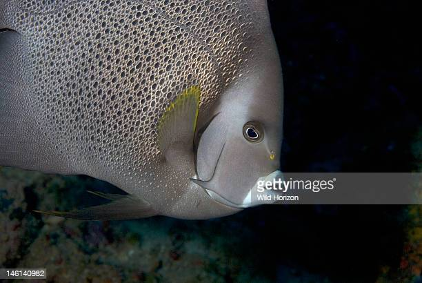 Portrait of a gray angelfish Pomacanthus arcuatus Curacao Netherlands Antilles