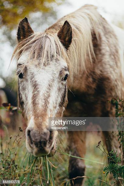 Portrait of a grazing pony