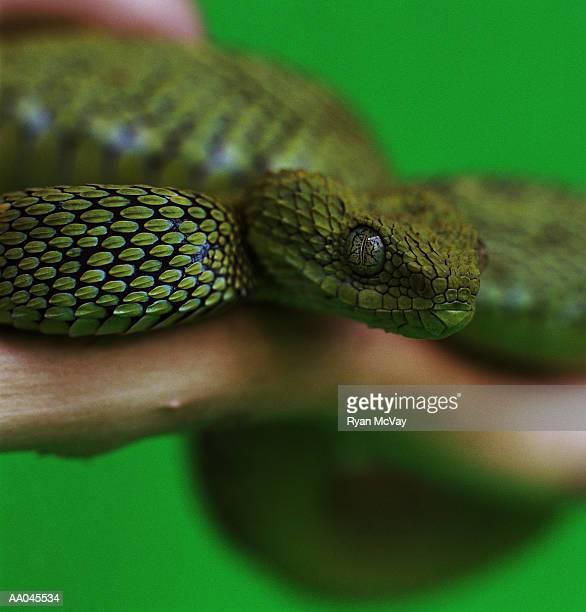 Portrait of a Green Bush Viper