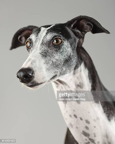 Portrait of a greyhound dog