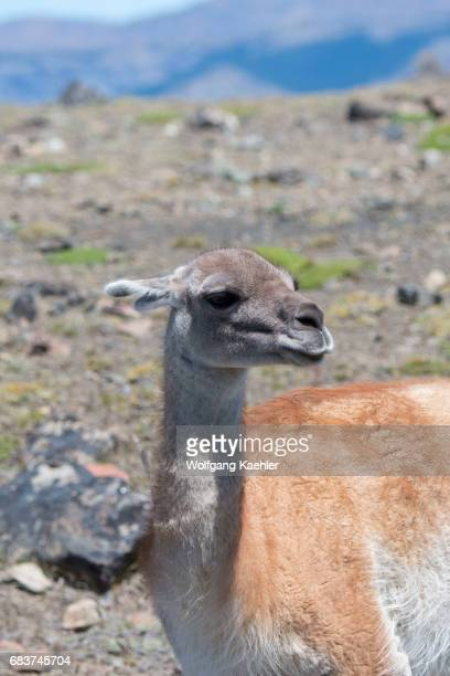 Portrait of a guanaco male in Torres del Paine National Park in southern Chile