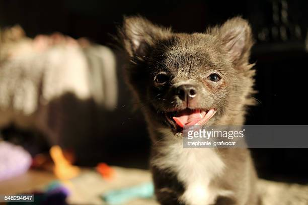 Portrait of a happy chihuahua puppy