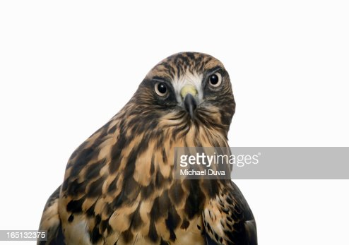 portrait of a hawk on a white background : Stock Photo