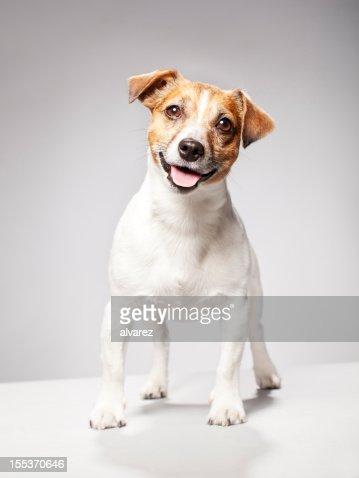 Portrait of a Jack Russel Terrier