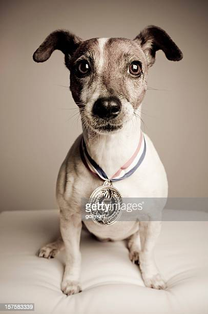 Portrait of a Jack Russell Terrier With Gold Medal