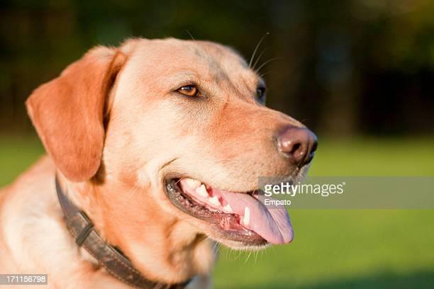 Porträt von einen Labrador Hund im Freien.